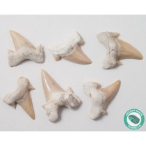 Otodus Shark Tooth Fossil - 12 Pack - Morocco