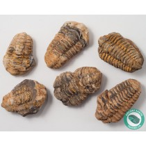 Flexicalymene Trilobite Fossil - 3 Pack - Morocco
