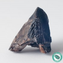 1 in Triceratops Dinosaur Fossil Tooth - South Dakota