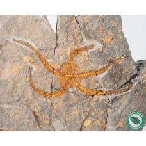 5.65 in. Brittle Star Fossil Ophiura from Morocco