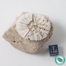 Bargain Sand Dollar Fossil Astrodapsis - California