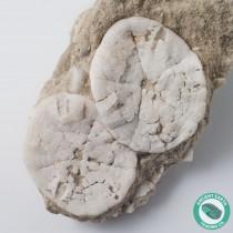 Nice Pair of Sand Dollar Fossils Astrodapsis antiselli - California