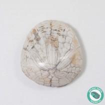 1.36 in Polished Sand Dollar Fossil Dendraster gibbsii - California