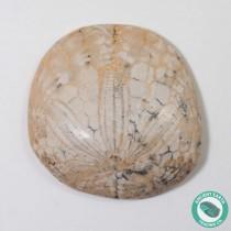 1.45 in Polished Sand Dollar Fossil Dendraster gibbsii - California