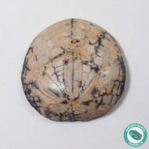1.4 in Polished Sand Dollar Fossil Dendraster gibbsii - California