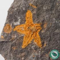 1.19 in. Starfish Fossil Stenaster - Morocco