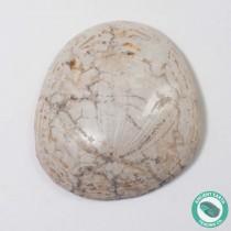 1.47 in Polished Sand Dollar Fossil Dendraster gibbsii - California