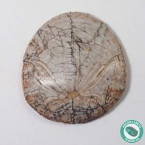 1.48 in Polished Sand Dollar Fossil Dendraster gibbsii - California