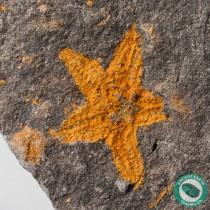 1.21 in. Starfish Fossil Stenaster - Morocco