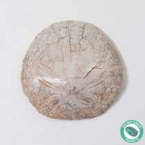 1.62 in Polished Sand Dollar Fossil Dendraster gibbsii - California