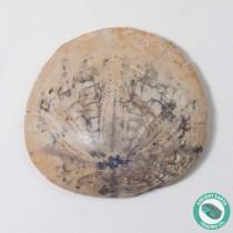 1.75 in Polished Sand Dollar Fossil Dendraster gibbsii - California
