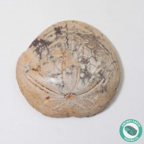 1.84 in Bite Mark Polished Sand Dollar Fossil Dendraster gibbsii - California