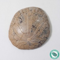 1.98 in Polished Fossil Sand Dollar Dendraster gibbsii - California