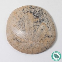 2.02 in Polished Sand Dollar Fossil Dendraster gibbsii - California