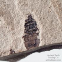Ground Beetle Platynus senex from Green River Fm. Colorado