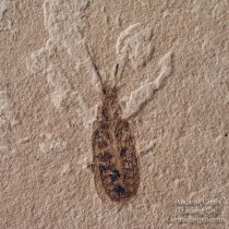 Jewel Beetle Fossil Buprestidae from Green River Fm. Colorado