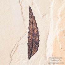 Sumac Leaf Fossil Rhus nigricans from Hawes Quarry Colorado