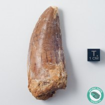 3.07 in Large Carcharodontosaurus Dinosaur Fossil Tooth - Morocco