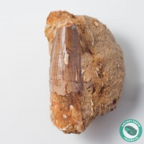 1.91 in Spinosaurus Tooth on Matrix - Morocco