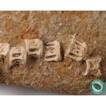 4.44 in. Enchodus Associated Vertebra Saber Tooth Fish - Morocco