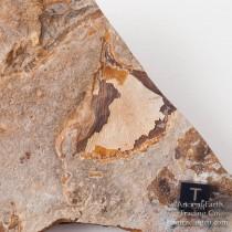 Ginkgo biloba + Platanaceae cf. platanus Leaf Paleocene Fossil from Almont, ND