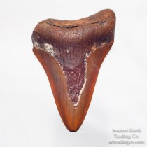 3.15 inch Golden Orange C. Megalodon Fossil Shark Tooth from Western Sahara (Morocco), Africa