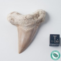 "2.14"" Otodus Shark Tooth Fossil - Morocco"