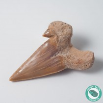 "2.17"" Pathological Otodus Shark Tooth Fossil - Morocco"