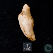 1.82 inch Fossil Dolphin Tooth (Odontoceti indet.) from Sharktooth Hill, California