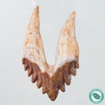 Museum 3.7 in. 6 Serrated Basilosaurus Tooth Fossil Whale Western Sahara