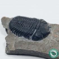"1.26"" Prone Eldredgeops (Phacops) rana Trilobite - New York"