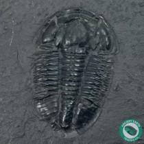 """2.15"""" Asaphiscus Trilobite Fossil - Utah"""