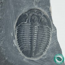 """1.28"""" Elrathia Trilobite Fossil - Utah"""
