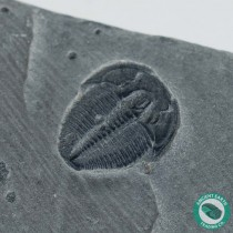 Cool Elrathia Trilobite Fossil - Utah