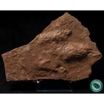 6.5 in. Grallator sp. Dilophosaurus Toe Claw + Footprint Track Fossil Utah