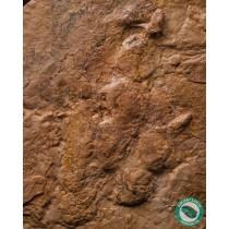 7 in. Grallator sp. Dilophosaurus Toe Claw + Footprint Dinosaur Track Fossil Utah