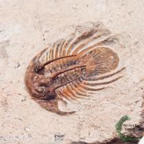 Uncommon Kolihapeltis chlupaci hollardi 1.4 in Spiny Trilobite Fossil