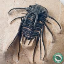 Dicranurus monstrosus Rams Horn Trilobite Fossil - Morocco