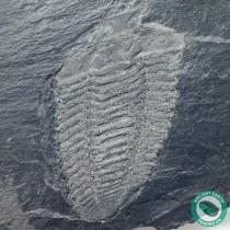 4.8 in Pyrite Covered Neseuretus Calymene Trilobite Fossil - Portugal