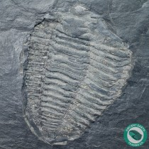 4.65 in Pyrite Covered Neseuretus Calymene Trilobite Fossil - Portugal