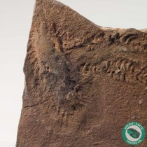 Rusophycus Fossil Trilobite Nest and Cruziana Trackways - Morocco
