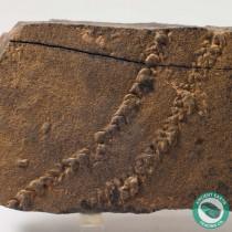 Cruziana Fossil Trilobite Tracks - Morocco