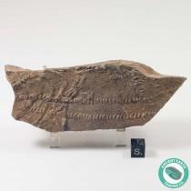 Diplichnites Fossil Trilobite Tracks - Morocco