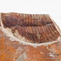 Ogygiocarella debuchi (Brongniart, 1822) Ordovician Fossil Trilobite
