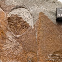 Double Ogygiocarella debuchi (Brongniart, 1822) Ordovician Fossil Trilobite