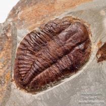 Huge Complete Ogygiocarella debuchi (Brongniart, 1822) Ordovician Fossil Trilobite