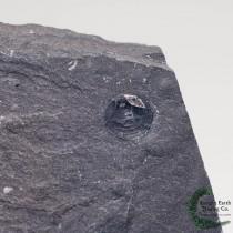 Braciopod Shell Fossil Acrothele subsidua