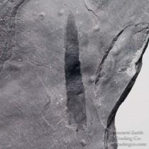 Priapulid (Selkirkia) Worm Fossil Pos/Neg Halves from Utah