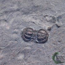 Peronopsis interstrictus