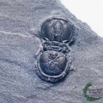 Peronopsis interstrictus Blind Trilobite Fossil